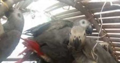 Sankuru : 60 perroquets gris saisis à l'aéroport de Lodja